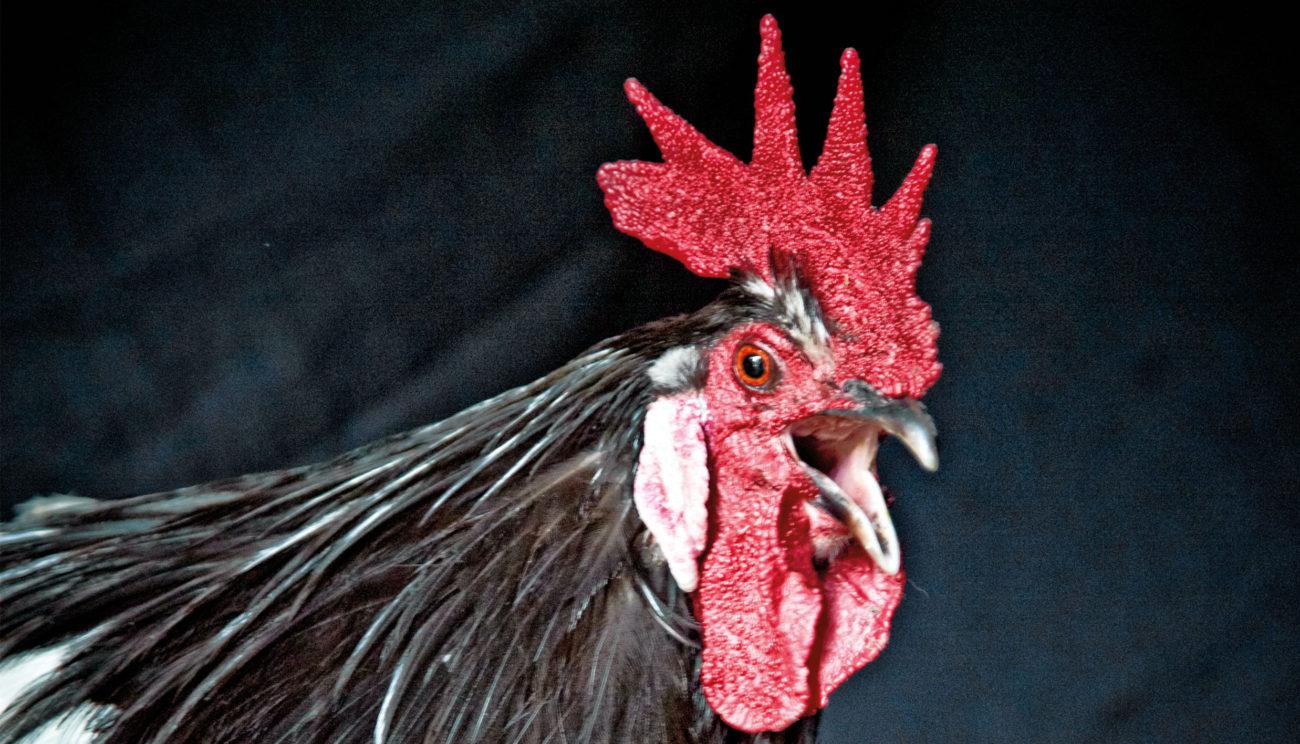 Smagen af et lykkeligt kyllingeliv